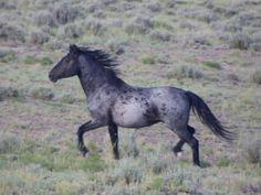 Les particularités des robes - Un cheval rouan bleuté