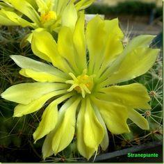 Mammillaria sphaerica flower