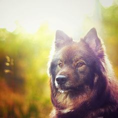 Dog: Keela, the Finnish Lapphund. Human: (the awesome person who owns this photo!): Kristin Lauritzen.