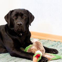Black Labrador Retriever Lotte by Black Labrador Lotte, via Flickr