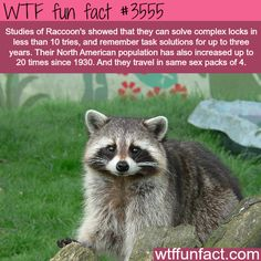 The intelligence of the raccoons - WTF fun facts