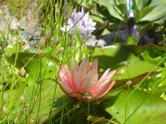 Beautiful lily #pond #lily #beautiful #Tetrapond