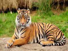 Un tigre relajado