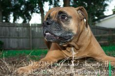 Pet Photography | © 2013 Justin Scott Hunt of Owen Hunt Photography | Dogs | Boxers | Clearwater, FL | @DieselK9to5