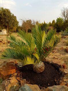 E.princeps  Vaal Retreat Sept 2017 South Africa, Garden, Plants, Garten, Lawn And Garden, Gardens, Plant, Gardening, Outdoor