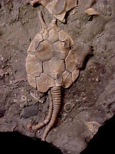 Pleurocystites squamosus - Other Ontario Echinoderms - Gallery ...