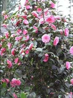 Camellia sasanqua (Sasanqua) blooms from October through December while Camellia japonica (Common Camellia) starts blooming in January and can last well into April. Both are large shiny-leaved evergreen shrubs that are beautiful year-round.