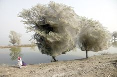 Stunned villagers stand next to trees near Dadu, in Pakistan's Sindh province, that have been cocooned in spider webs
