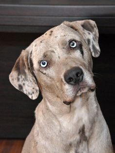 Catahoula Leopard Dog Big Dogs, I Love Dogs, Cute Dogs, Catahoula Cur, Leopard Dog, Dog Tattoos, Family Dogs, Working Dogs, Beautiful Dogs