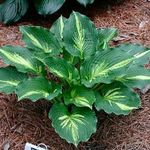 Lakeside Paisley Print Hosta. this is one I need to find! @Pam Kennedy