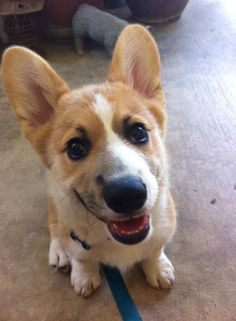 Ollie the Corgi! Sooo Cute!