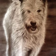 "Master Coffee/Marcel Wagner on Instagram: ""Never forget my Irish Wolf, painted with coffee! #art #coffee #coffeepainting #portrait #irishwolfhound #dog #doglover #dogportrait"" Coffee Painting, Irish Wolfhound, Coffee Art, Dog Portraits, Marcel, Dog Lovers, Forget, Dogs, Animals"