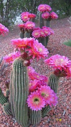 Bellísimas las flores de los cactus!