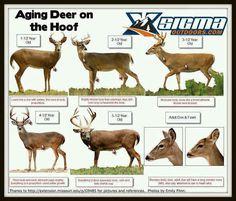 Aging a deer