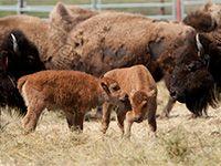 Wild bison return home to Montana