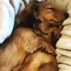 """Outstanding """"dachshund puppies"""" information is offered on our internet site. Check it out and you wont be sorry you did. Vintage Dachshund, Funny Dachshund, Dachshund Puppies, Dachshund Love, Cute Puppies, Cute Dogs, Dogs And Puppies, Cute Puppy Videos, Funny Animal Videos"""