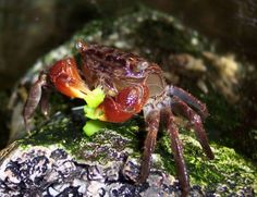 Caresheet: Red claw crab