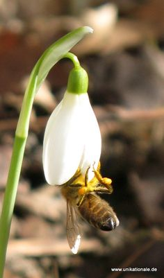 Photo and (c) Astrid Maul - Bee on snowdrop
