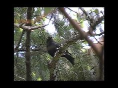 Brown-headed Cowbird song Victoria, BC