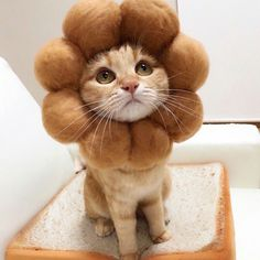 Kibimomo also made the kittens' favorite foods into a variety of beautiful hats. The kittens wearing these various kinds of hats are really cute. Cute Baby Cats, Cute Kittens, Cute Baby Animals, Cats And Kittens, Funny Animals, Diy Cat Tent, Animal Gato, Cat Behavior, I Love Cats