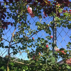 Garden Requisites' solid steel galvanized trellis panel beautifully supporting a pink climbing rose. Garden Trellis Panels, Metal Trellis, Trellis Fence, Climbing Roses, Garden Plants, Fencing, Pink, Lattice Fence, Steel