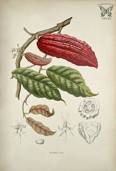 Cacao, cocoa. Theobroma cacao. Seeds from the cacao or cocoa tree are used to make chocolate! Fleurs, fruits et feuillages choisis de l'ille de Java -peints d'après nature par Berthe Hoola van Nooten (1880)