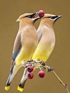 Bonitas aves