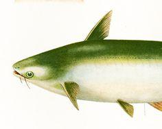 1932 Poisson-chat Géant. Gravure Originale. Aquaculture. Pêche eau douce.  Ichtyologie Asie Pacifique Ocean Indien. de la boutique sofrenchvintage sur Etsy