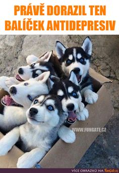 Here is a package delivery like no other: a bunch of wide-eyed Husky puppies ready to start exploring everything in sight! Husky Humor, Funny Husky Meme, Dog Quotes Funny, Dog Memes, Funny Dogs, Animals And Pets, Baby Animals, Funny Animals, Cute Animals