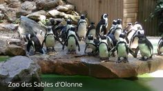 Places to see in ( Les Sables-d'Olonne - France ) Zoo des Sables d'Olonne  Zoo des Sables d'Olonne is an Eco-zoo housing around 40 threatened species including monkeys anteaters penguins & lions.  The Zoo des Sables is a zoo French located in the region of Pays de la Loire in Vendée  a few steps from the beaches of Les Sables d'Olonne in the neighborhood of Rudelière. Gay family property which also has the Biopark Doue-la-Fontaine in the Maine-et-Loire it is directed by Pierre and François…