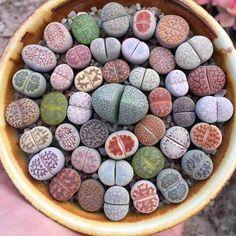 100 Pcs/bag Mixed Succulents Plantas Lithops Pseudotruncatella Office Bonsai Plants for Home & Garden