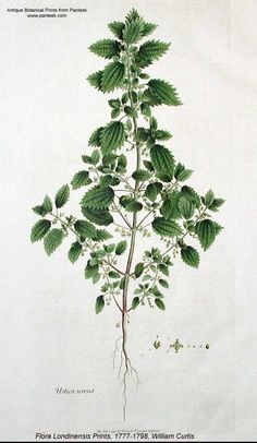 "Just a beautiful botanical picture (no article); Previous pinner said, ""Nettle has been used in the past against allergy."""