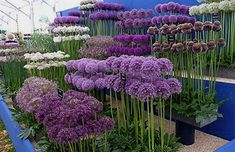 Alliums for the flower garden. How to grow alliums, what variety to choose. Hardy. Easy. Not susceptible to any serious plant diseases or pests and even ornamental alliums are deer and rodent resistant because they are technically members of the onion family.  #FlowerGarden