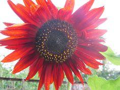 Подсолнух Малиновая Королева. Очень необычно смотрится клумба с огородными растениями, украшенная цветами подсолнечника, календулы, душицы или ромашки - декоративный огород. Также, подсолнечники - прекрасные цветы на срезку - они стоят в воде около 2-х недель. Из них можно составить оригинальный букет, который принесет в дом ощущение летнего теплого дня, покоя и умиротворения . Считается, что подсолнух побеждает депрессии и печаль.