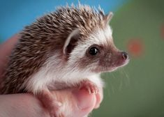 Hedgehogs have very bad eyesight but excellent smell and hearing!