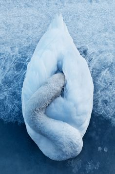 this looks like a swan that tried to stay warm by hiding its head in the feathers but was frozen to death. :( (Swan by Victor Selinger) The Animals, Wild Animals, Funny Animals, Beautiful Birds, Animals Beautiful, Blue Dream, Tier Fotos, Wild Life, Bird Feathers