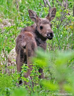 A baby moose in Alaska. Photo by: Roy Neese