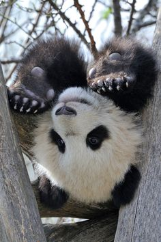 Ooooo. . Love Me some pandas.    (via 500px / I give up… by Josef Gelernter)