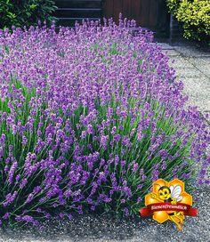 rosen und lavendel - bilder und fotos   lavendel   pinterest   gardens