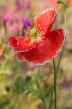 Morning Poppy by Karen Forsyth