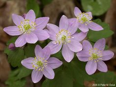Photos and information about Minnesota flora - Rue Anemone: ¾ to 1 inch white or pink flowers with 5 to 10 petal-like sepals and numerous yellow stamens
