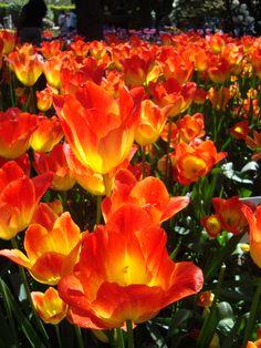 Photo I took at the Tulip Festival..... Mt.Vernon, WA