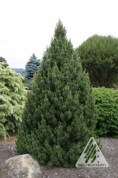 Sherwood Compact Bristle Cone Pine - 4' tall and 2' wide.