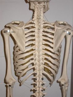hyaline cartilage ribs | skulls and face | pinterest | ribs, Skeleton