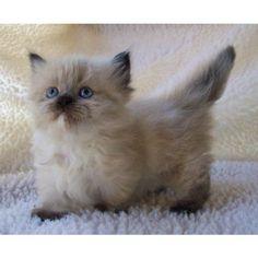 Himalayan Munchkin Kitten - Love those short, pointy kitten tails.