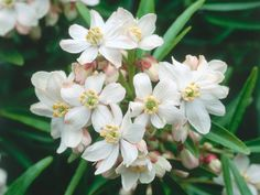 Choisya 'Aztec Pearl', commonly called Mexican Orange Blossom, is an evergreen shrub with slender, glossy, dark green leaves and clusters of fragrant, pink-tinged white flowers in late spring.