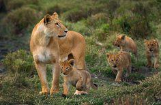 Lovely Lion Family, Kenya