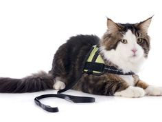 Oldham County town adopts a cat-leash law | #laws #oldhamcounty #town #cats #leash #ordinances #localgov