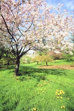 Diez árboles perfectos para tu patio. Manzano