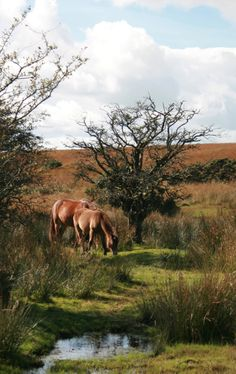 Exmoor ponies on Exmoor National Park, visited from Huxtable Farm BB, North Devon